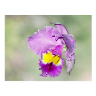 Orchid touched by God for Mom Post Cards