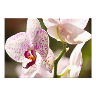 Orchids Photo Print
