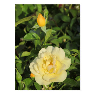 Oregold Yellow Roses Postcard