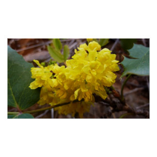 Oregon Grape Flowers Yellow Wildflowers Poster