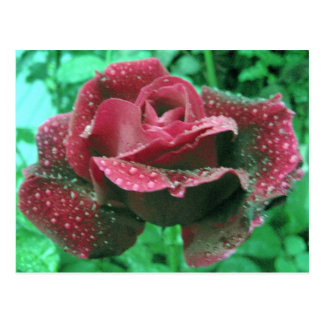 Oregon rose covered in raindrops postcard