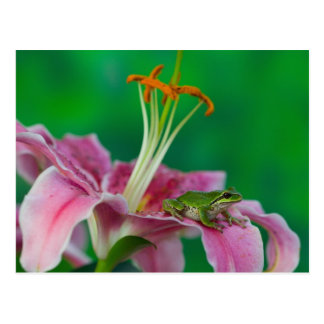 Oriental Lily and Pacific tree frog resting on Postcard