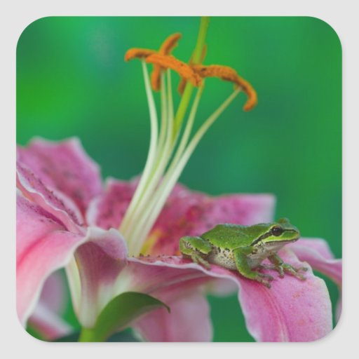 Oriental Lily and Pacific tree frog resting on Sticker