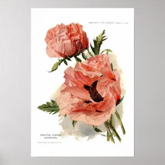 Oriental Poppy (Papaver orientale) Poster