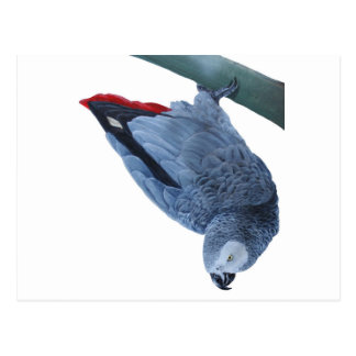 Original African grey parrot gifts Postcards