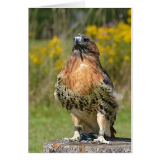 Orion the Red tailed hawk Greeting Card