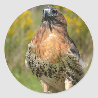 Orion the Red tailed hawk Round Sticker