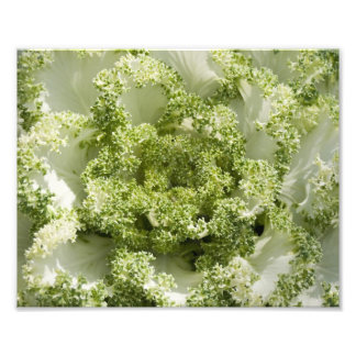 Ornamental Cabbage Photographic Print