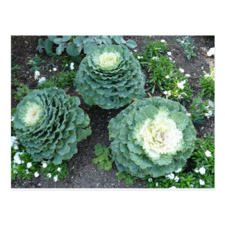 ornamental kale postcard