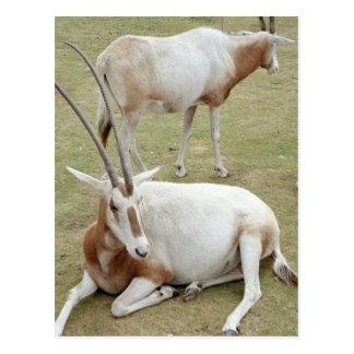 Oryx Postcard