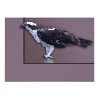 Osprey Blank Announcements