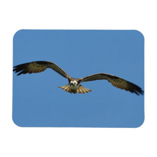 Osprey Flying! Magnet