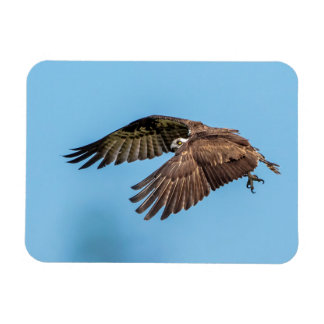 Osprey in flight at Honeymoon Island State Park Magnet