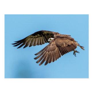 Osprey in flight at Honeymoon Island State Park Postcard