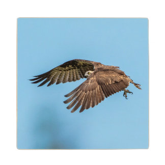 Osprey in flight at Honeymoon Island State Park Wood Coaster