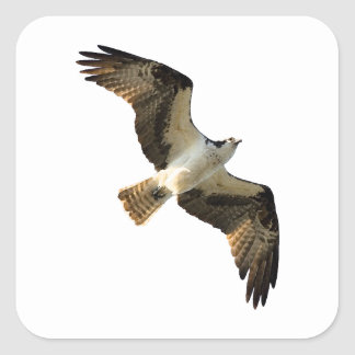 Osprey in Flight Logo Square Sticker