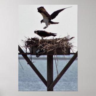 Osprey in Nest Poster