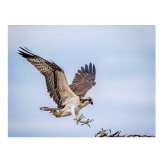 Osprey landing in the nest postcard
