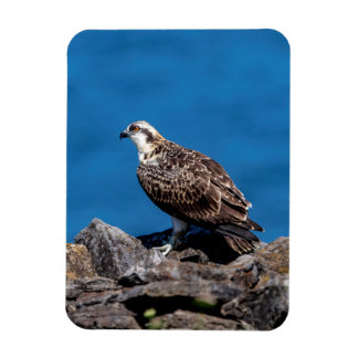 Osprey on the rocks magnet