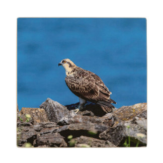 Osprey on the rocks wood coaster