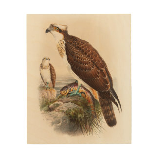 Osprey Sea Hawk John Gould Birds of Great Britain Wood Canvas