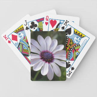 Osteospermum African Daisy Deck Of Cards