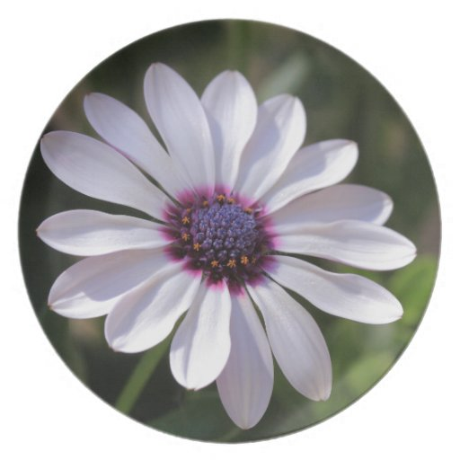 Osteospermum African Daisy Party Plate
