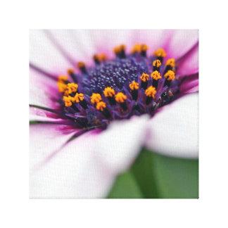 Osteospermum Daisy Macro Canvas Print