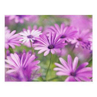 Osteospermum flowers postcard