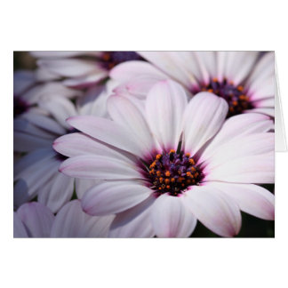 Osteospermum Greeting Card