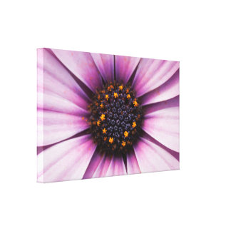 Osteospermum Purple Flower Stretched Canvas Print