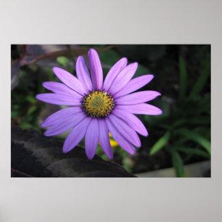 Osteospermum Stardust Flower Print Print