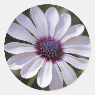 Osteospermum Stickers