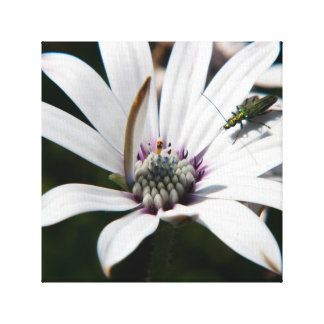 Osteospermum with insect stretched canvas print