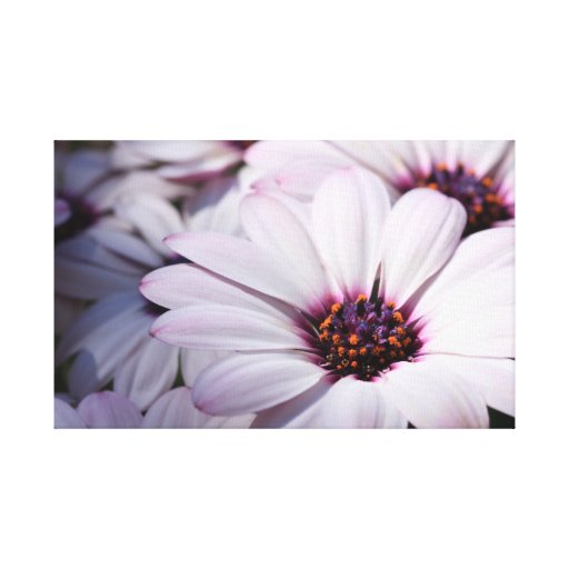Osteospermum  Wrapped Canvas Stretched Canvas Print