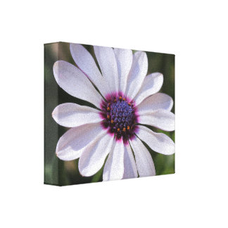 Osteospermum  Wrapped Canvas Gallery Wrapped Canvas