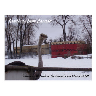 Ostrich in the Snow Postcard