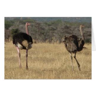 Ostrich male & female card