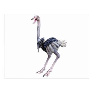 Ostrich Postcard