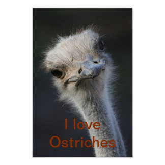 ostriches poster