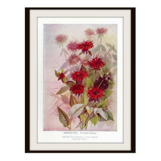 Oswego-Tea Botanical Wildflower Flower Postcard