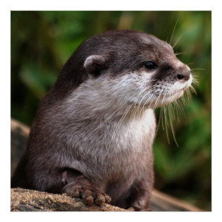 Otter close-up poster