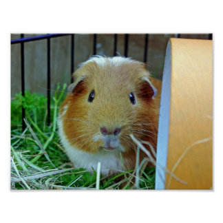Outdoor guinea pig poster