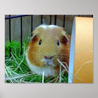 Outdoor guinea pig poster