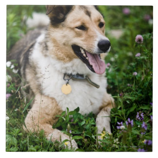 Outdoor portrait of dog lying down in meadow tile