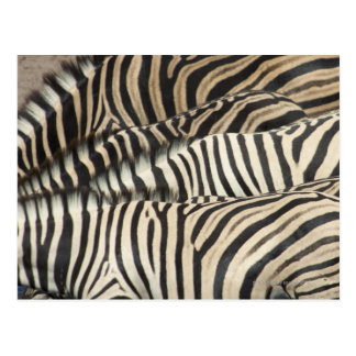 Overhead view of Burchell's Zebra (Equus Postcard