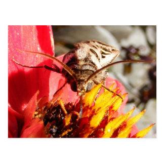 Owlet Moth ~ postcard