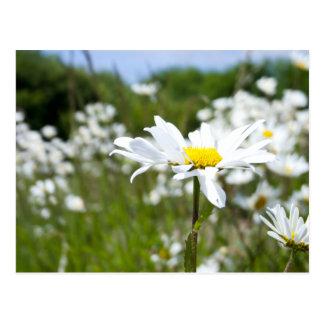 Ox-eye Daisies | Flower Postcard