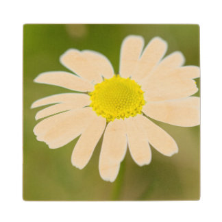 Oxeye Daisy Wood Coaster