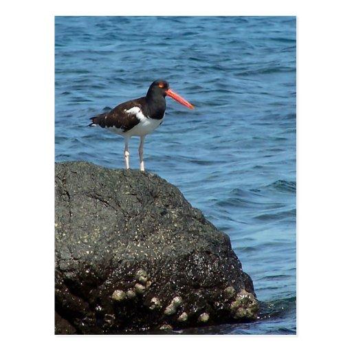 Oystercatcher Shorebird Postcard